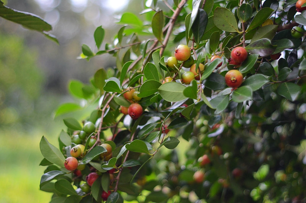 sow exotic strawberry guava live fruit tree