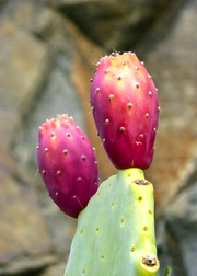 Pickly Pear (Opuntia ficus-indica)