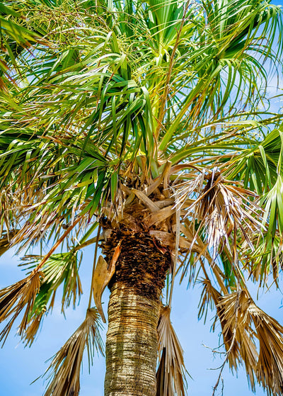 Palmetto Palm Trees In Sub Tropical Climate Of Usa.jpg