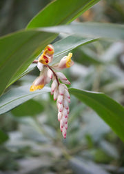 Ginger (zingiber Officinale) Blossoms.jpg