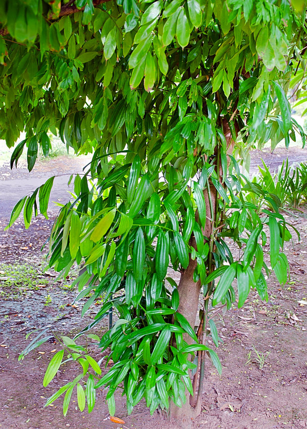 Cinnamon Leaves On The Tree.jpg