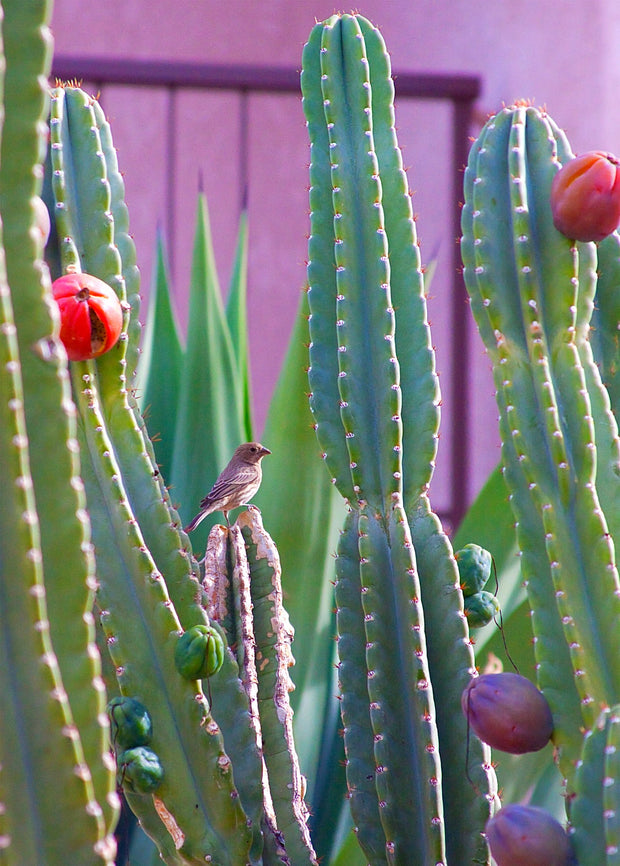 Peruvian Apple Cactus and bird.jpg