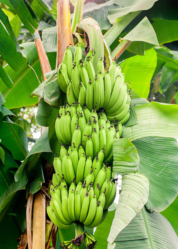 Green bunch of bananas on banana tree