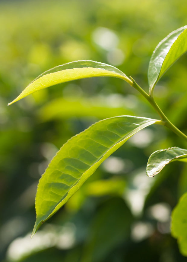 Leaves Of A Tea Plant.jpg