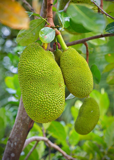 The jackfruit (Artocarpus heterophyllus), also known as jack tree, fenne, jakfruit, is a species of tree in the fig, mulberry, and breadfrui