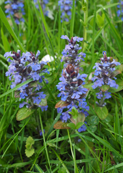Chocolate Chip Bugleweed (Ajuga)