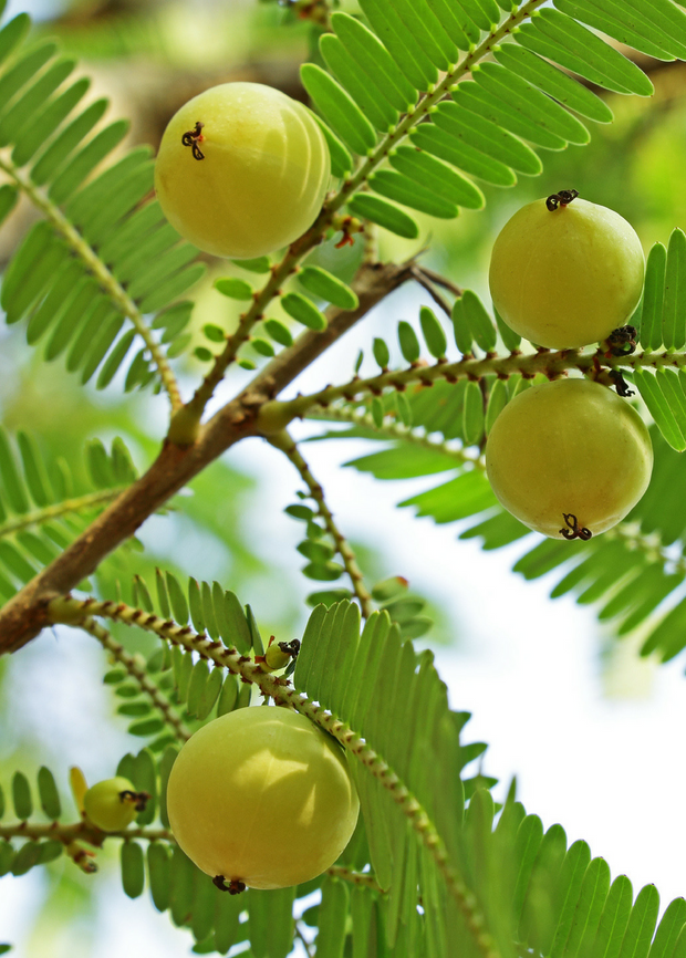 Amla, Indian Gooseberry (Phyllanthus emblica)