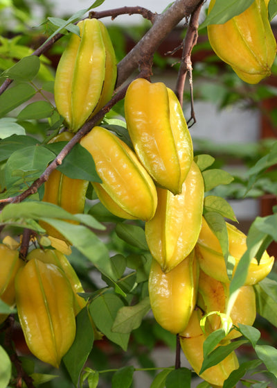 Starfruit tree carambola for sale sow exotic