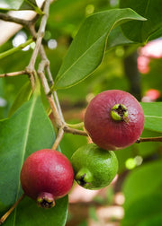 Guava, Strawberry (Psidium cattleianum)