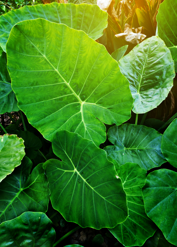 Taro 'Chinese Bun Long' (Colocasia esculenta)