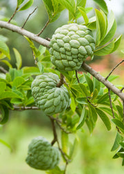 Sugar Apple 'Thai Lessard' (Annona squamosa L)
