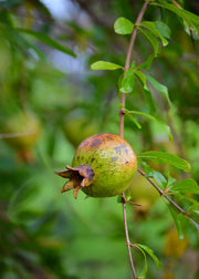 Pomegranate 'Vietnamese Pink' (Punica granatum)