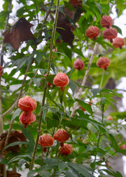 Flowering Maple (Abutilon pictum)