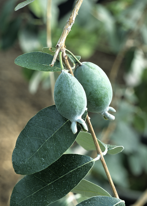 Pineapple Guava (Feijoa sellowiana)
