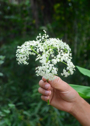 Florida Native Elderberry, Elderflower (Sambucus canadensis)