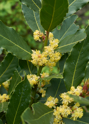Bay Leaf, Bay Laurel (Laurus nobilis)