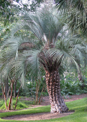 Jelly Palm (Butia capitata)