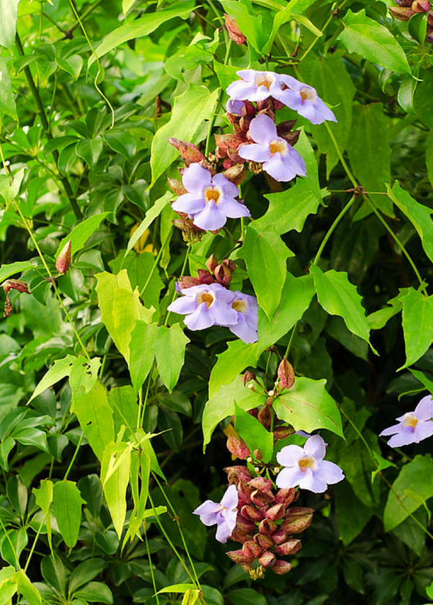 Rang Jued (Thunbergia laurifolia)
