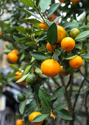 Calamondin (Citrus × Citrofortunella microcarpa)