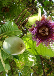 Giant Granadilla (Passiflora quadrangularis L.)