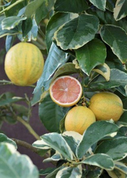 Variegated Pink Lemon (Citrus × limon)