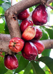 Malay Apple (Syzygium malaccense)