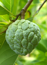 Sugar Apple 'Na Dai' (Annona squamosa L)