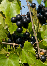 Muscadine Grape 'Alachua' (Vitis)