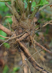 Ashwagandha, Fresh Root