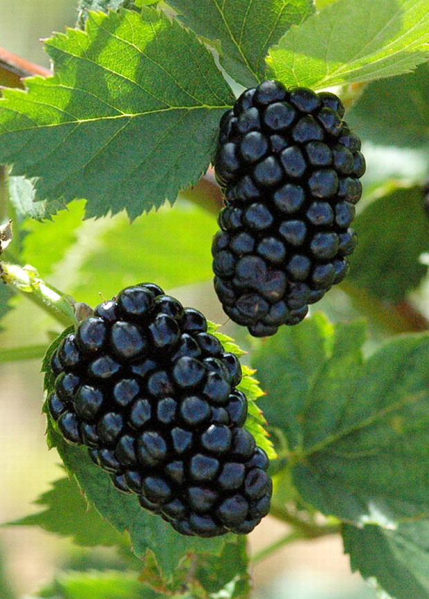 Blackberry, Thornless 'Natchez' (Rubus)