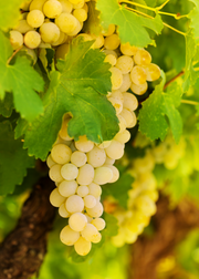 Grape 'Blanc du Bois' (Vitis vinifera)