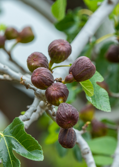 Fig 'Brown Turkey' (Ficus carica)