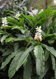 False Cardamom (Alpinia mutica)