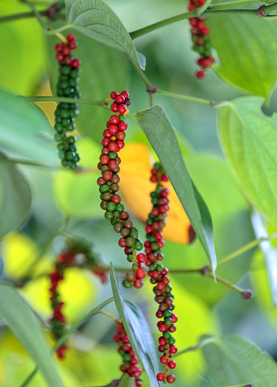 Black Pepper Vine (Piper nigrum)