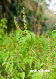 Tulsi Trio: The Essential Holy Basil Bundle