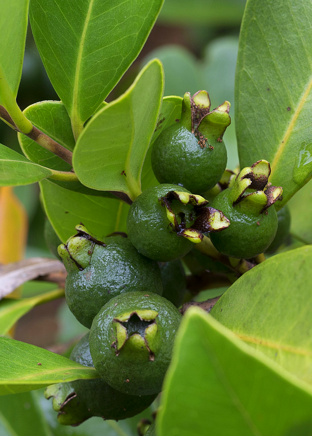 Guava, Lemon (Psidium littorale)