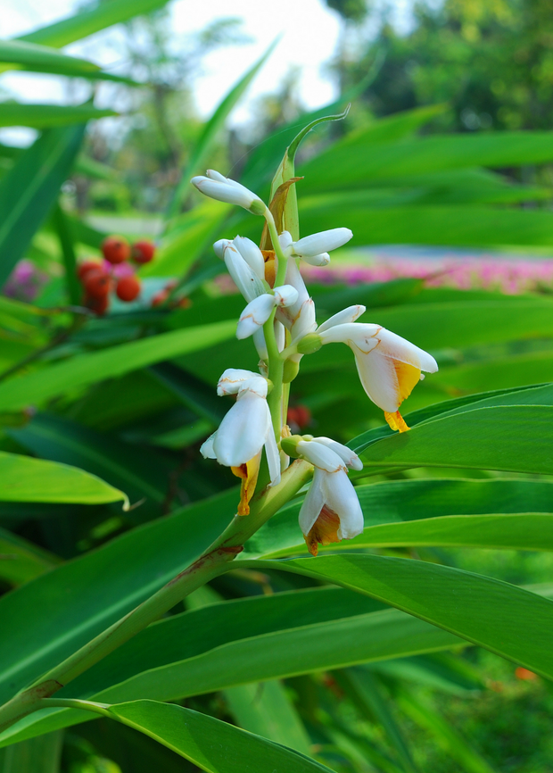 Lesser Galangal (Alpinia officinarum)