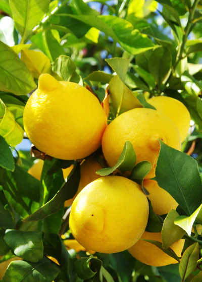 Lisbon Lemon (Citrus × limon)