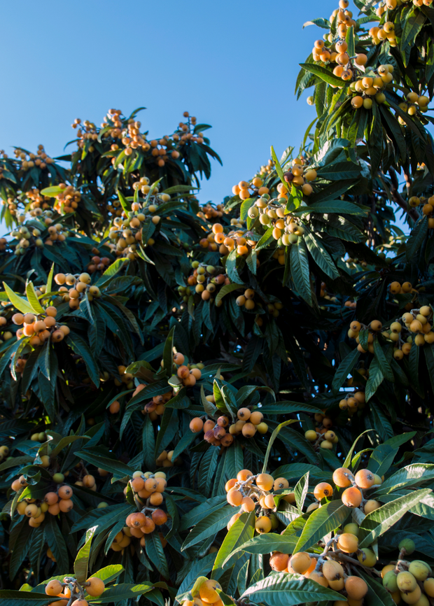 Shop Live Christmas Loquat Fruit Tree For Sale