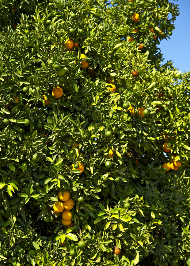 Honeybell Orange (Citrus reticulata x C. paradise)