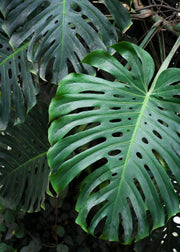 Monstera deliciosa, Swiss Cheese Plant