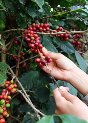 Coffee (Coffea arabica)