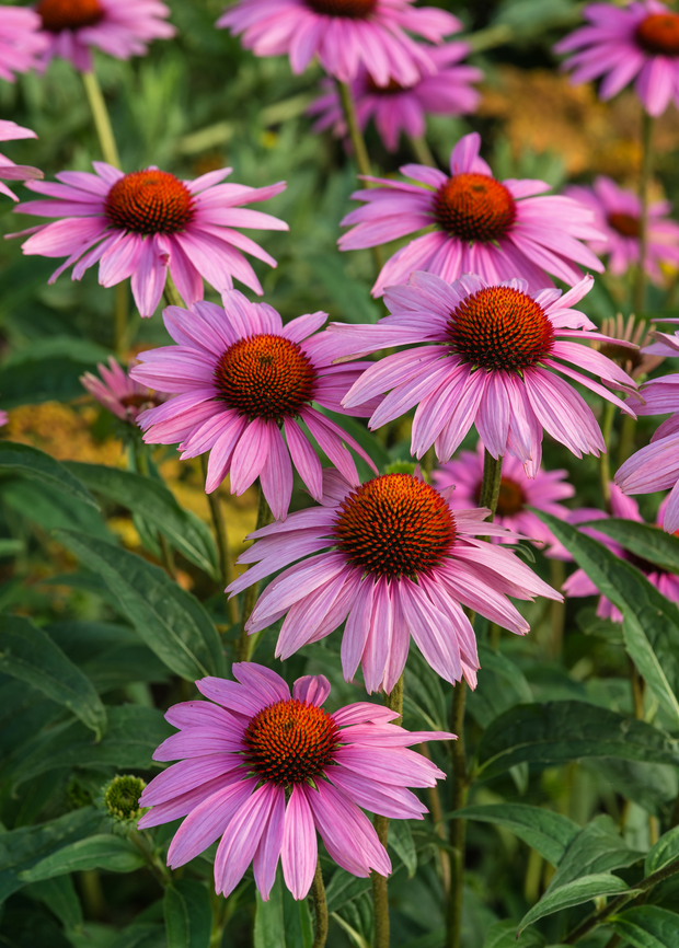 Purple Coneflower Echinacea (Echinacea purpurea)