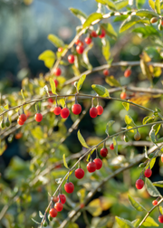 Red Goji Berry (Lycium barbarum)