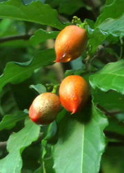 Peanut Butter Fruit (Bunchosia argentea)