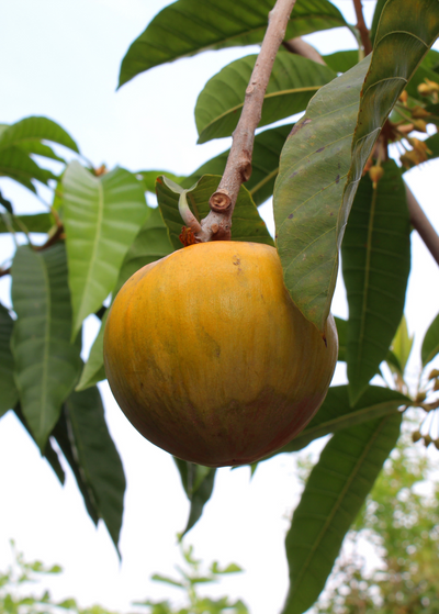 Tropical Fruit & Spice Trees
