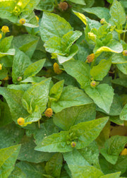 Electric Daisy Toothache Plant (Spilanthes acmella)
