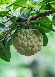 Sugar Apple (Annona Squamosa)