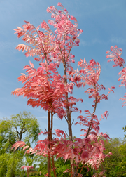 Red Toon (Toona sinensis)