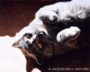 'A Ray of Sunshine' British Shorthair Blue Cream